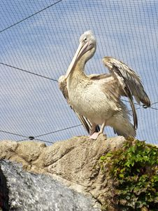 Free Pelican At The Zoo Stock Photo - 16495570