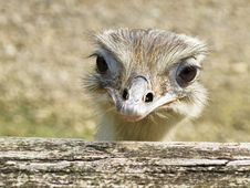 Free Ostrich Head Portrait Stock Photo - 16495770