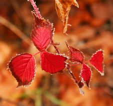 Free The Leaves Of Autumn Raspberry. Stock Image - 16495951