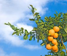 Free Branch With Ripe Oranges Royalty Free Stock Images - 16496289