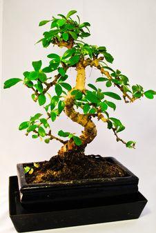 Free Green Bonsai Tree Stock Photos - 16497303