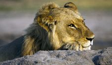 Free A Resting Lion Royalty Free Stock Photography - 16498267