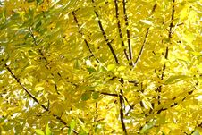 Free Texture Of Yellow Autumn Leaves Stock Photography - 16498882