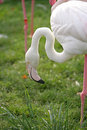 Free Flamingo Portrait 4 Royalty Free Stock Photo - 1650395
