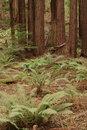 Free Muir Woods Royalty Free Stock Photo - 1654925