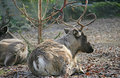 Free Reindeer 1 Stock Image - 1655101