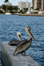Free 2 Pelicans Royalty Free Stock Image - 1655406