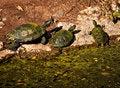 Free Turtles Royalty Free Stock Images - 1658669