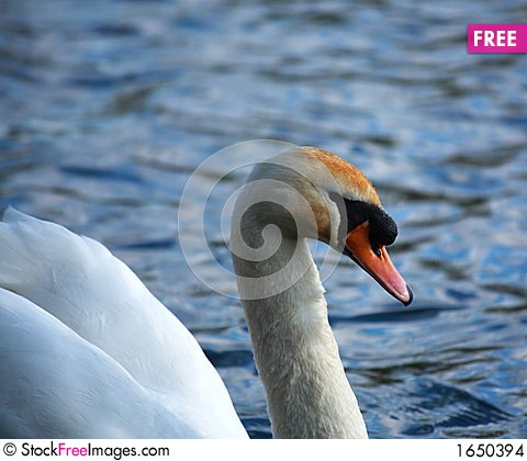 Free White Swan Side On Stock Images - 1650394