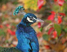 Free Peacock 6 Stock Photos - 1650173