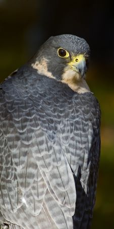 Free Peregrine Falcon (Falco Peregrinus) Looks Over Back Stock Photo - 1650310
