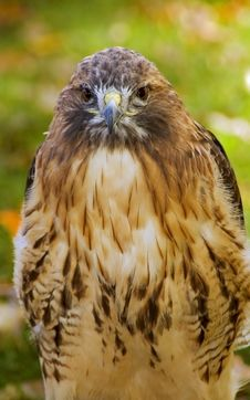 Free Red-Tailed Hawk (Buteo Jamaicensis) Stare Stock Image - 1650311