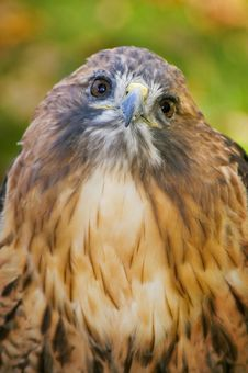 Free Red-Tailed Hawk (Buteo Jamaicensis) Looks Up Stock Images - 1650314