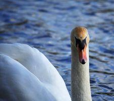 Free White Swan Facing Forwards Stock Photo - 1650360