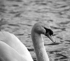 White Swan Side On Black And White Royalty Free Stock Photo