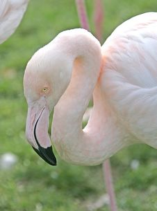 Free Flamingo Portrait 5 Royalty Free Stock Photos - 1650418
