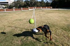 Free Rottweiler Tetherball Stock Photography - 1651602