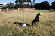 Free Rottweiler Tetherball Royalty Free Stock Photo - 1651625