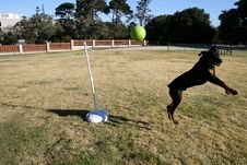 Free Rottweiler Tetherball Stock Photography - 1651632