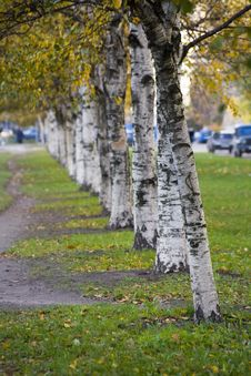 Free Birch Alley Royalty Free Stock Photography - 1653377