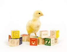 Free Baby Chick And Blocks Stock Photo - 1653810