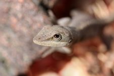 Free Watchful Lizard Stock Photo - 1653890