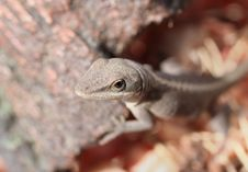 Cautious Lizard Stock Image