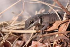 Free Relaxing Lizard Royalty Free Stock Images - 1653939