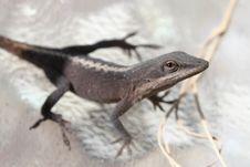Free Small Lizard Stock Photos - 1653943