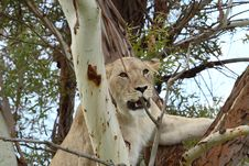 Free Climbing Tree Lion Royalty Free Stock Images - 1654269