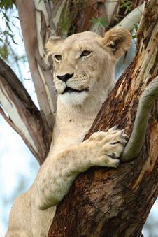Free Tree Lion Stock Images - 1654354