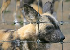 Wild Dog 1 Royalty Free Stock Photography