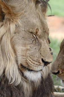 Free African Lion Resting Stock Image - 1654451