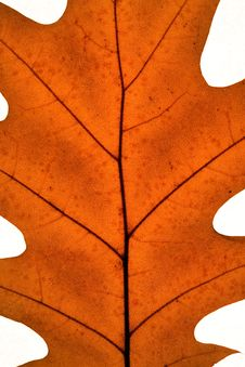Free Leaf Royalty Free Stock Photography - 1654497