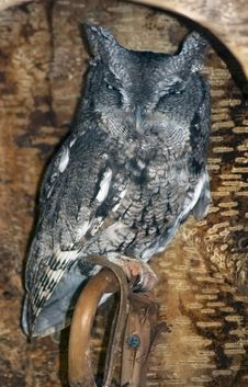 Free Eastern Screech Owl (Otus Asio) Glares From Inside Log Perch Stock Photos - 1654553