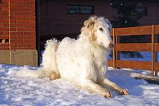 Thoroughbred Borzoi Dog Royalty Free Stock Images