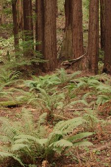 Free Muir Woods Royalty Free Stock Photo - 1654925