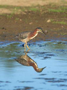 Free Green Heron Royalty Free Stock Image - 1654936