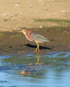 Free Green Heron Stock Image - 1654941