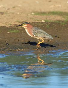 Free Green Heron Stock Images - 1654944