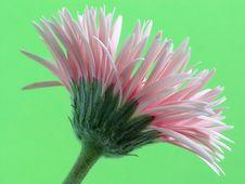 Free Pale Pink Gerbera Royalty Free Stock Photo - 1654945