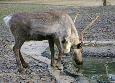 Free Reindeer 2 Royalty Free Stock Photography - 1654967