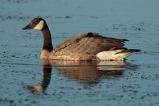 Free Canada Goose Royalty Free Stock Image - 1654986