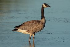 Free Canada Goose Stock Photography - 1654992