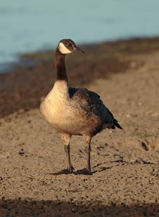 Free Canada Goose Stock Images - 1655004