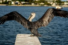 Free Pelican About To Take Flight Royalty Free Stock Images - 1655509
