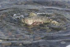 Free Chum Salmon Stock Images - 1655744
