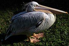Free Pelican Stock Image - 1656531