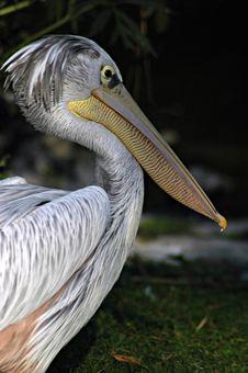 Free Pelican Royalty Free Stock Photo - 1656535
