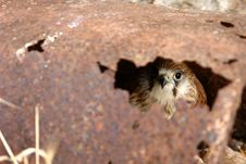 Free Hawk Hiding Stock Photography - 1656892